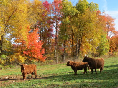 Scottish Highland Cattle at Hawk Hill Farm.