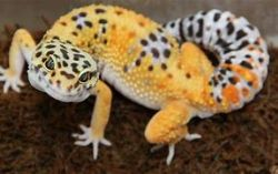 Picture of a yellow and white leopard gecko with black spots