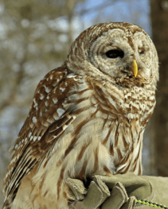 "Photo of ""Asha"" a Barred Owl, courtesy Horizon Wings Raptor Rehabilitation and Education in Ashford, Connecticut"