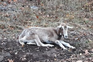 A Tollenberg goat in a neighbor's yard